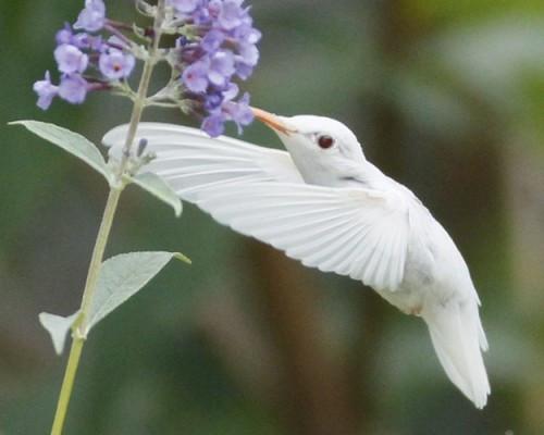 albinohummer-500x400.jpg